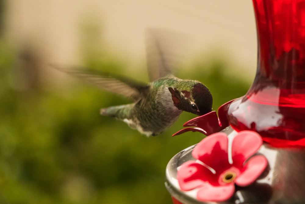 hummingbird drinking from flowers