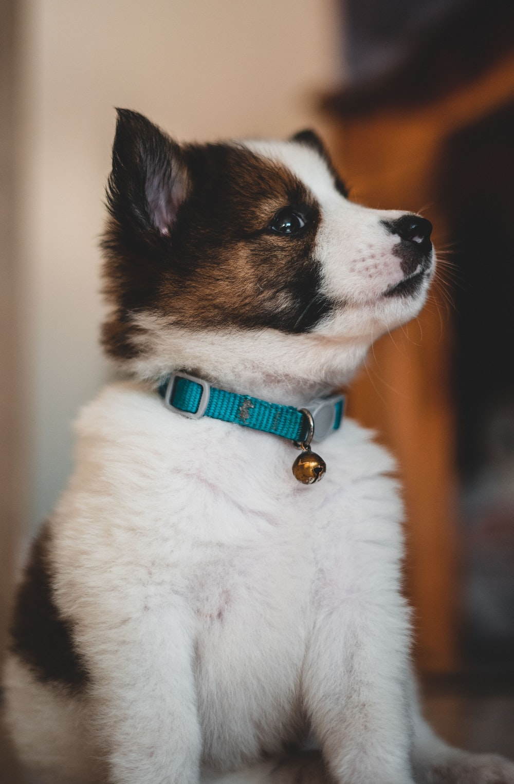 short-coated white and brown puppy wearing blue collar with bell