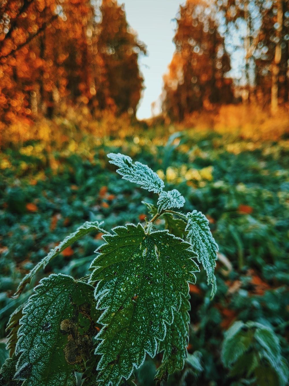 green coleus plant