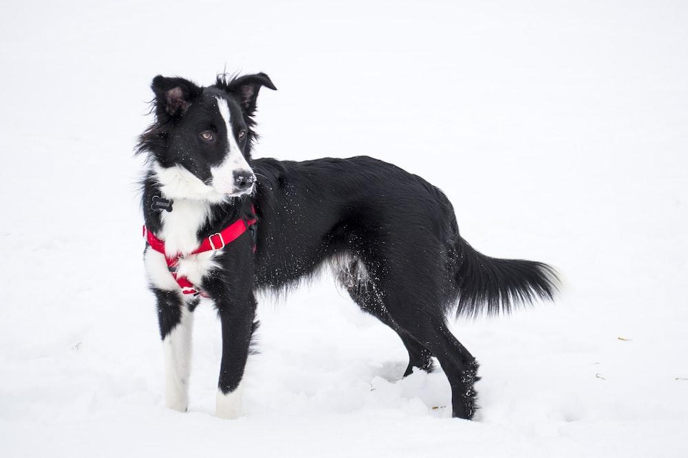 black and white Border Collie on snow