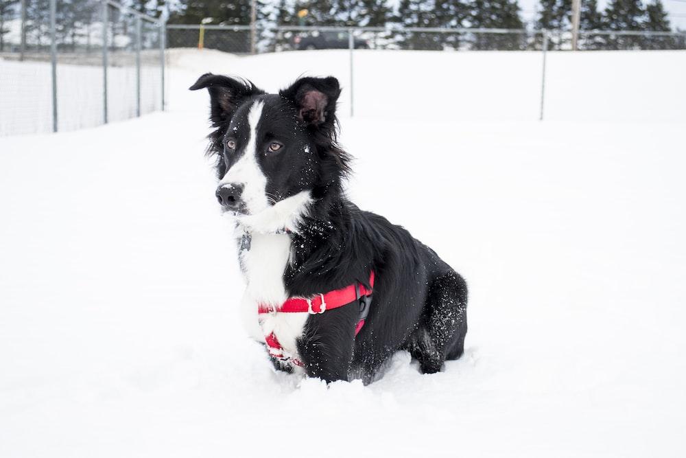 short-coated black and white dog sitting on snow