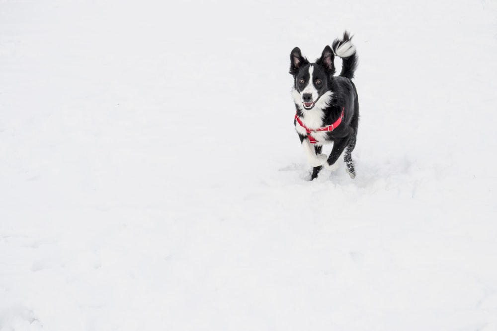 white and black dog with red harness