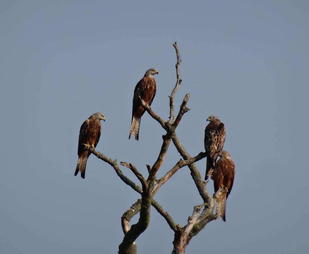 four brown birds