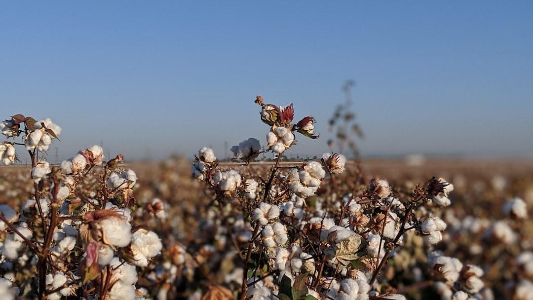 Cotton fields in AZ