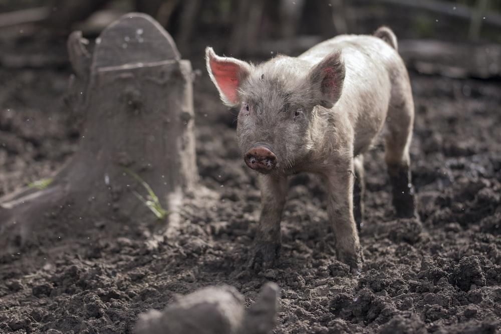 piglet on mud