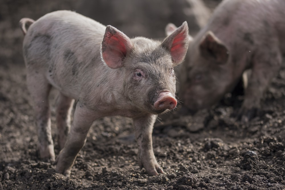 piglets on mud