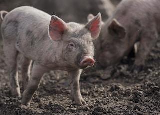 piglets on mud