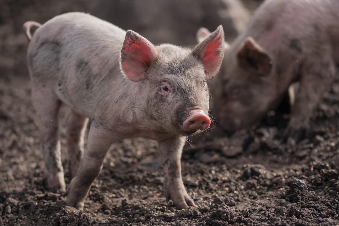 Pig's life