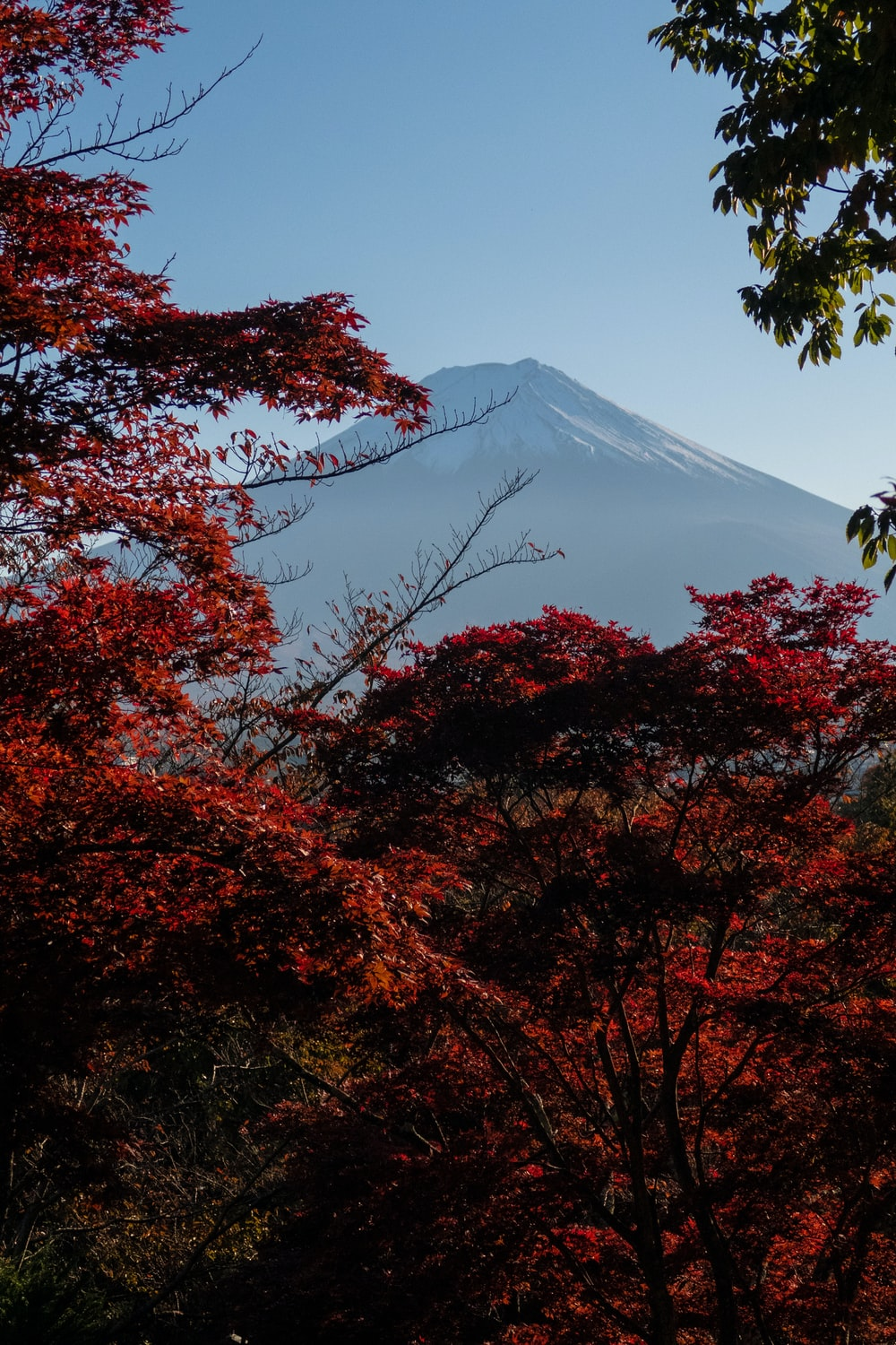 red-leafed trees near mountain