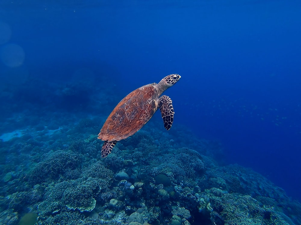 brown turtle in sea