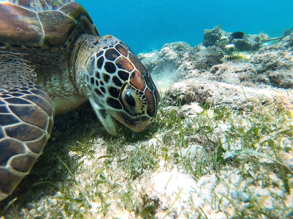 brown and black turtle