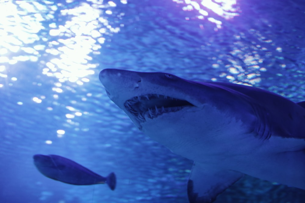 underwater photography of white and gray shark