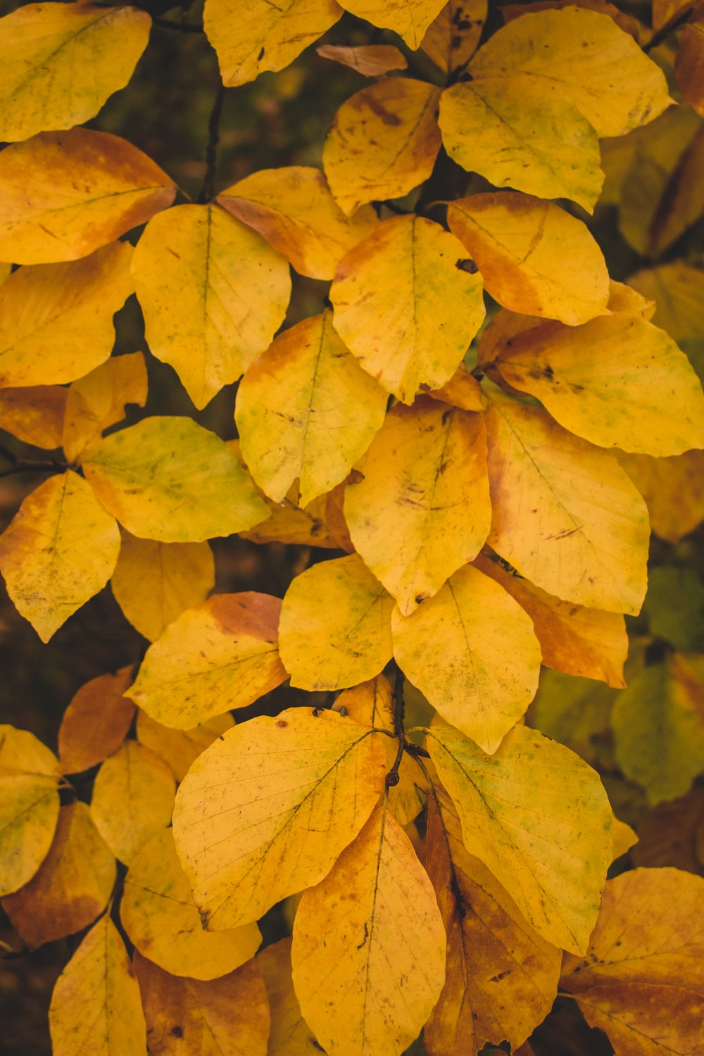 yellow-leafed plants