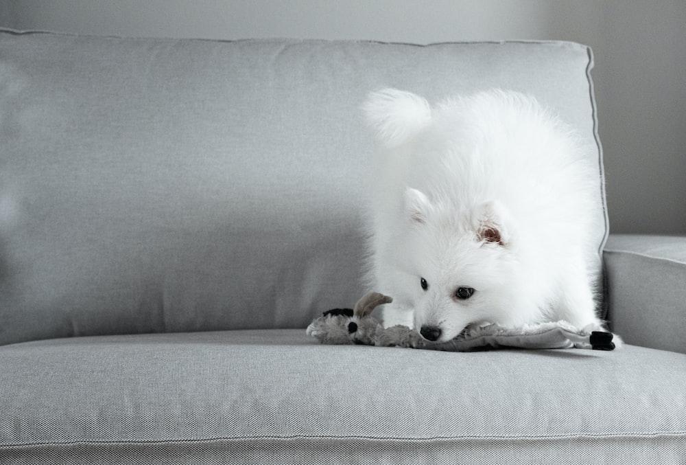 white puppy on sofa