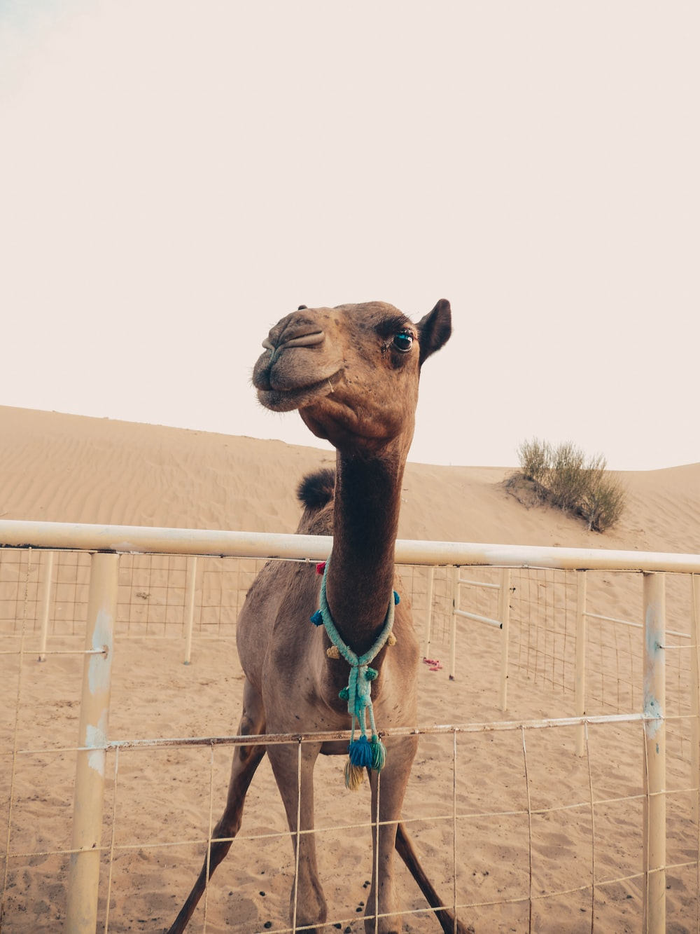 brown camel on cage