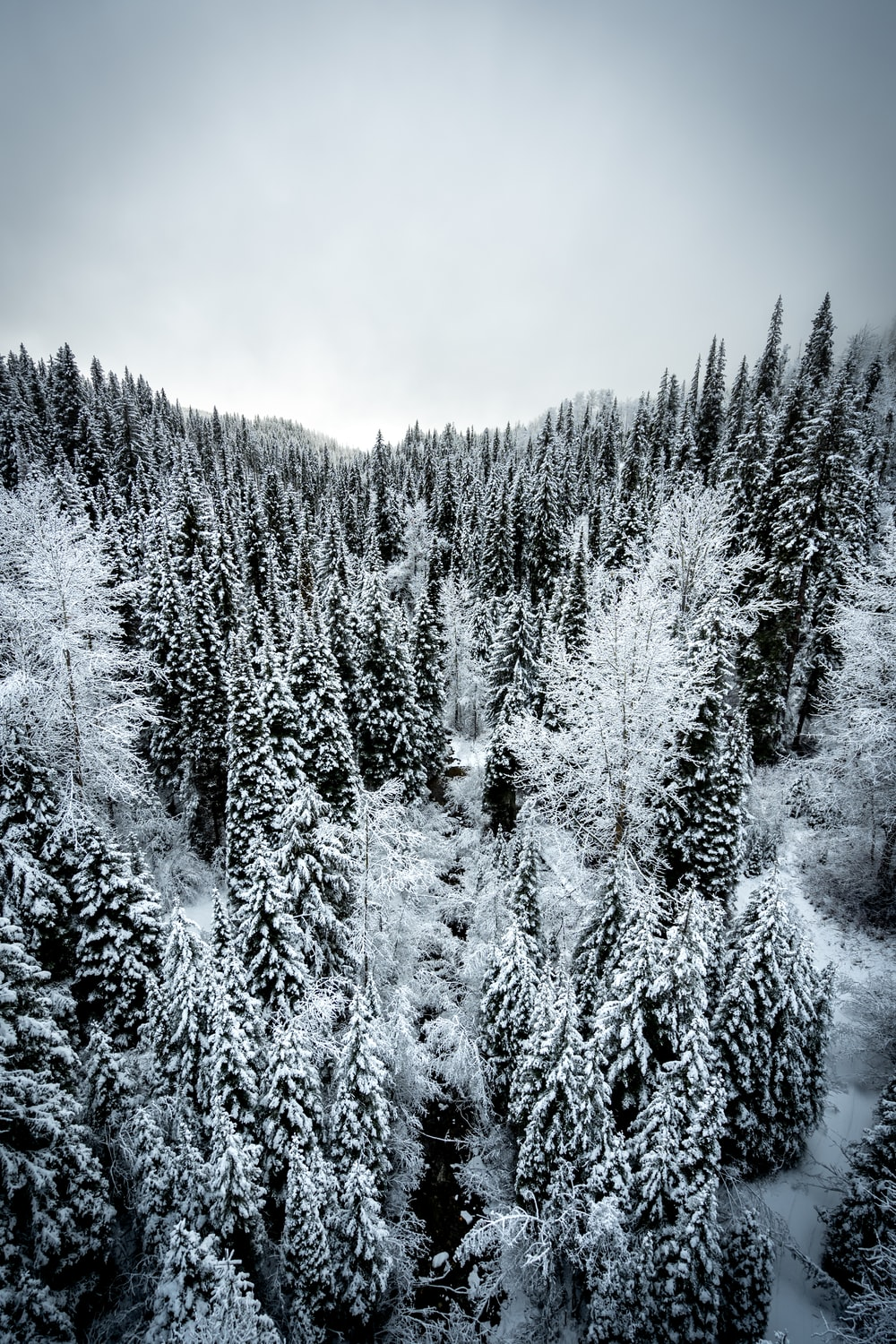 grayscale photo of pine trees covered by snow