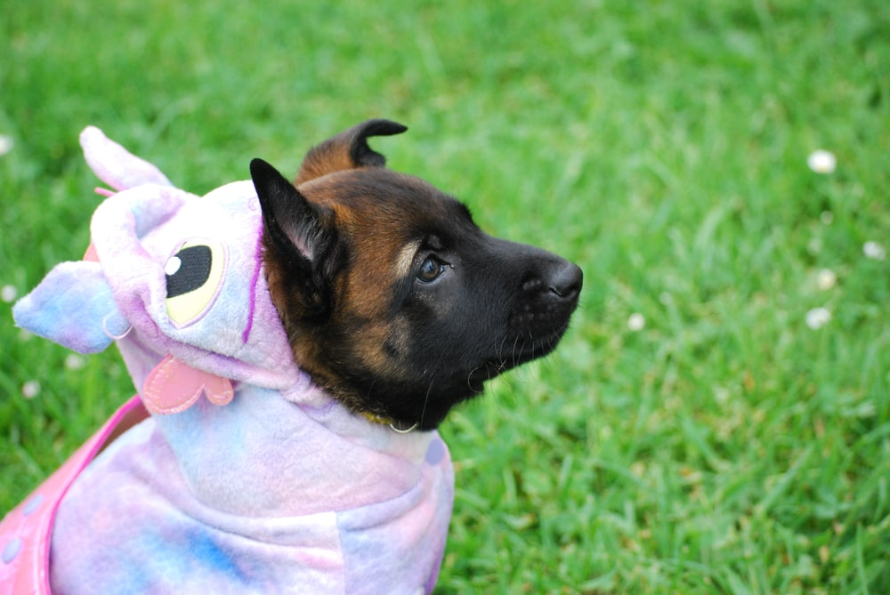 brown and black puppy in pink costume