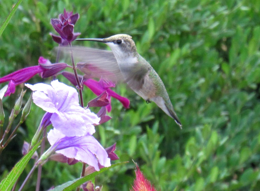 gray bird on pink and white petaled flowers