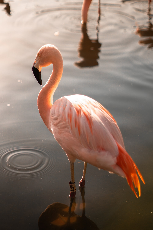flamingo on body of water