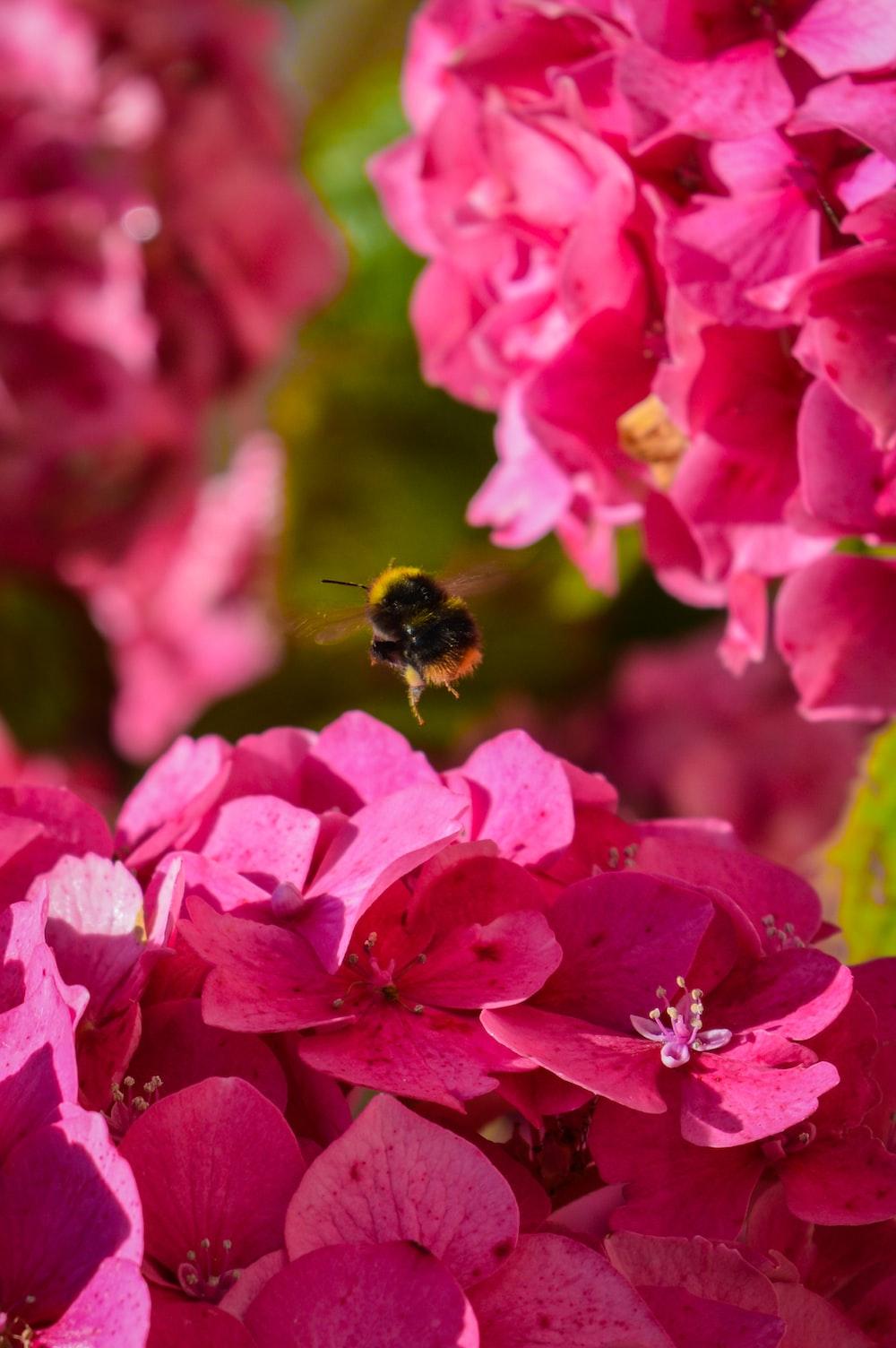 bee above pink hydrangea flower