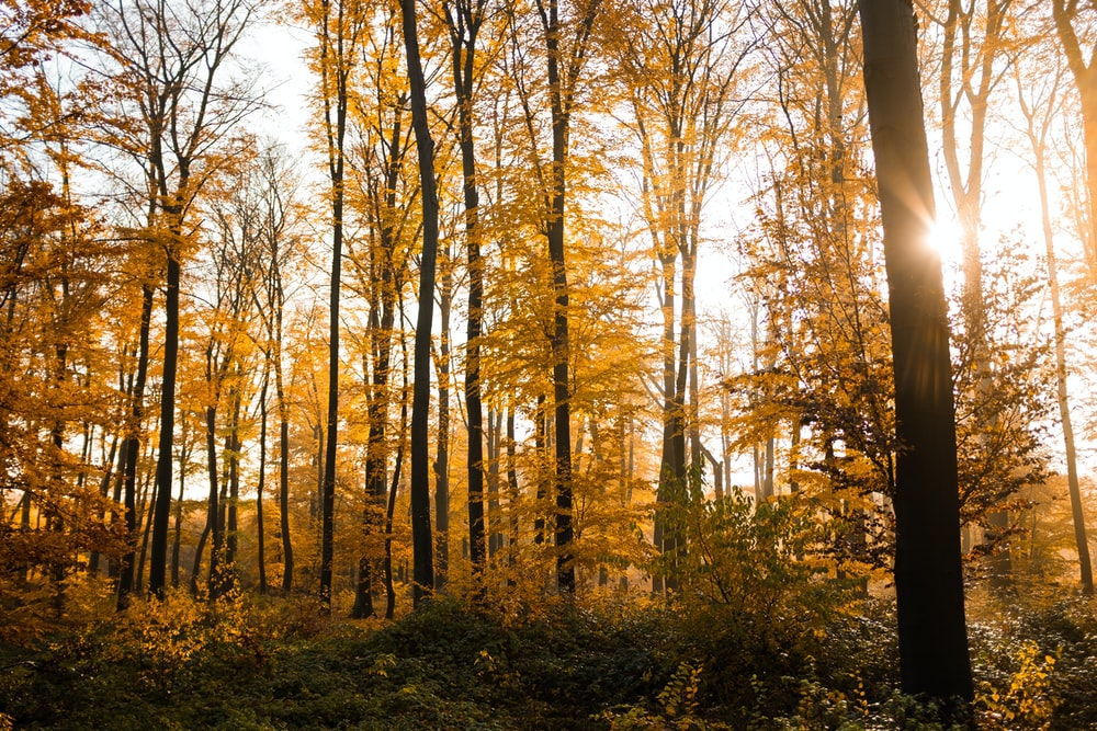 forest trees under the ray of the sun