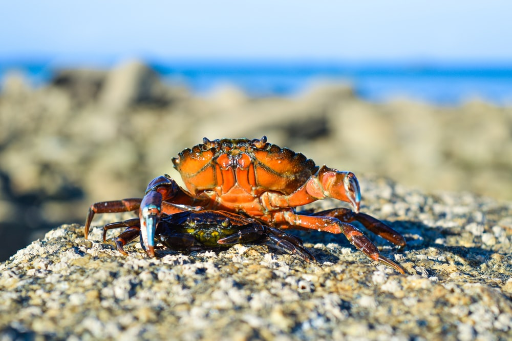 selective focus photography of brown crabs during daytime