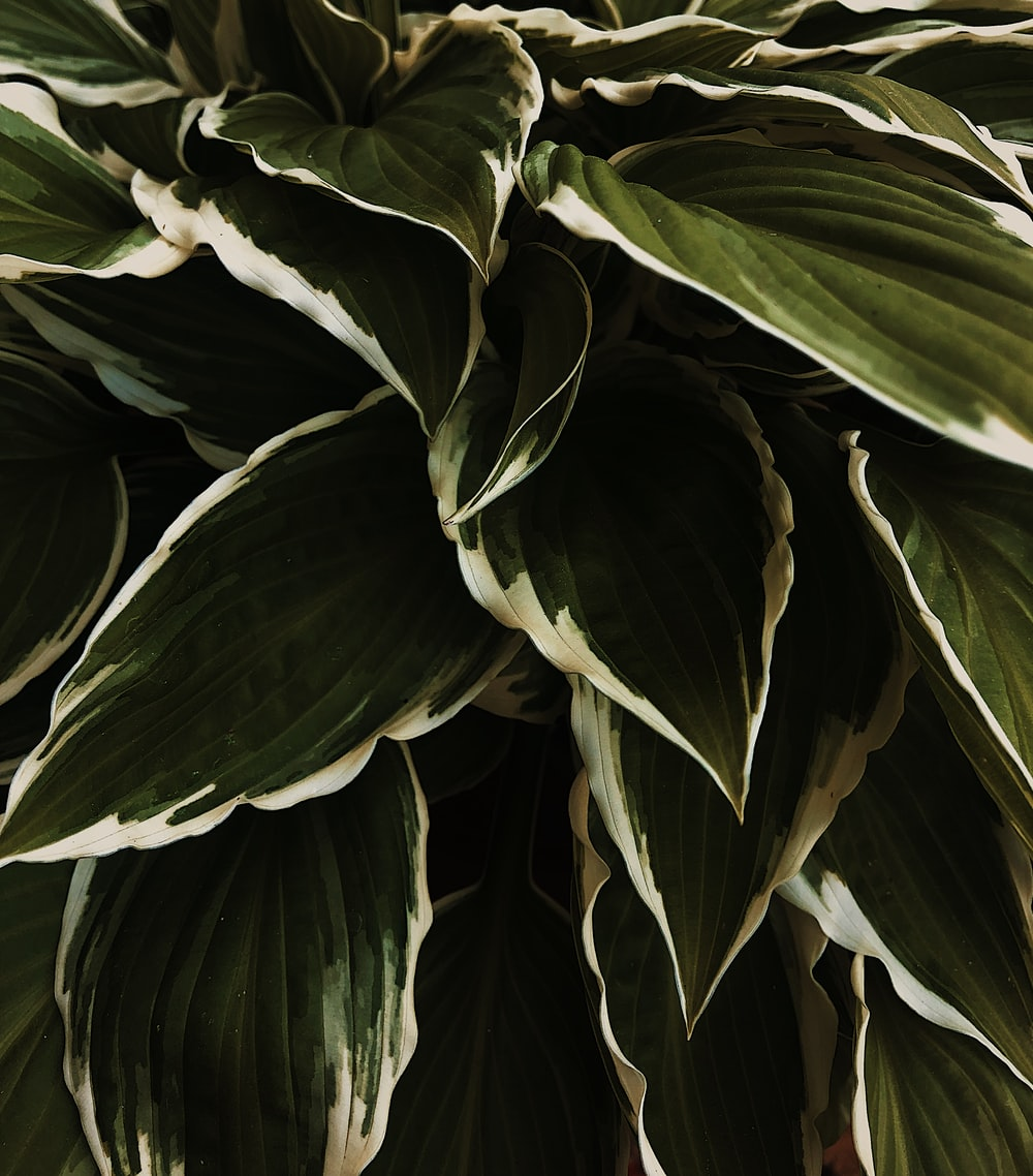 green-and-white-leafed plant