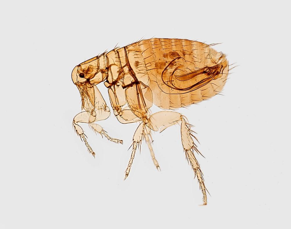 brown flea illustration