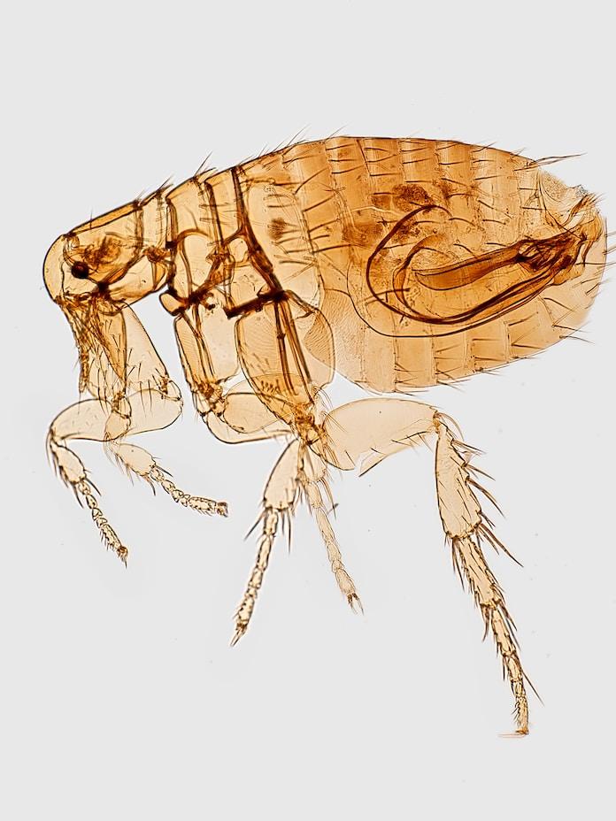 Types Of Fleas