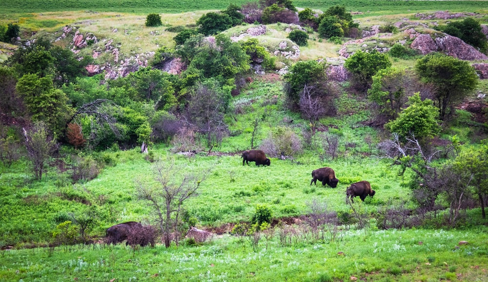 three brown bisons surrounded by trees