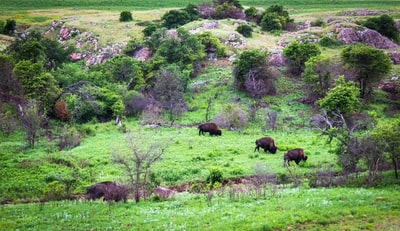 three brown bisons surrounded by trees oklahoma zoom background