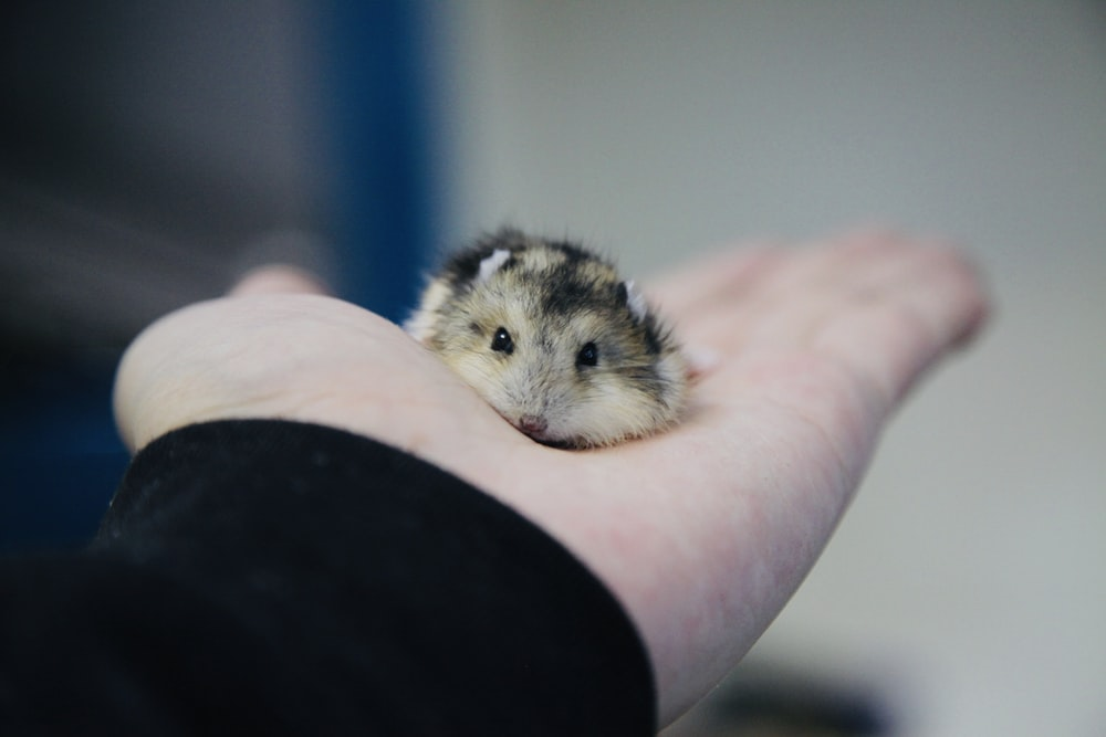 black and brown rodent on person's palm
