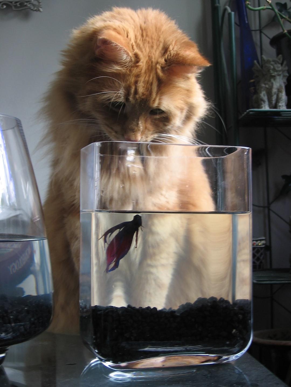 Big orange cat looking at a pet fish
