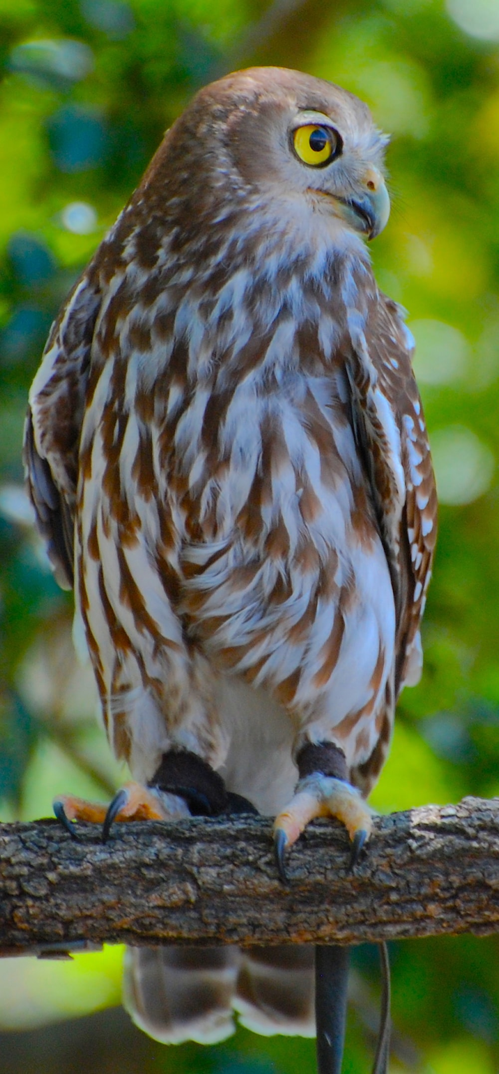 brown and white owl \