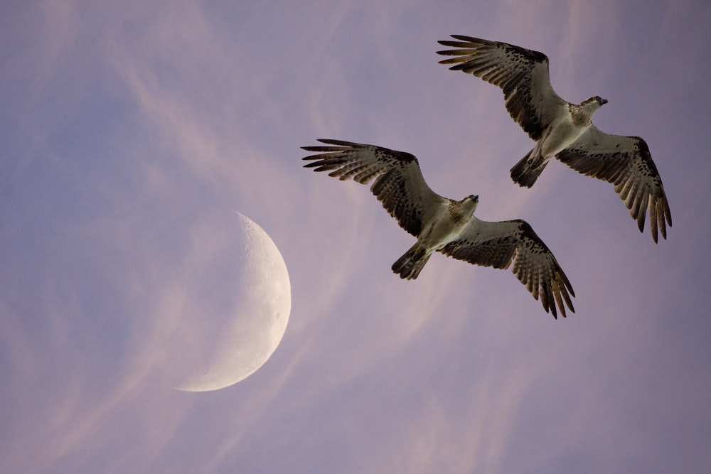 two flying birds under moon