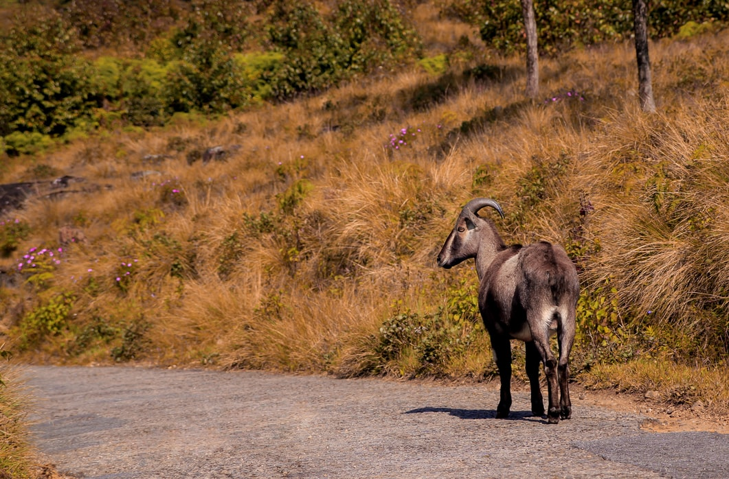 Tahr on the roads of Eravikulam National Park