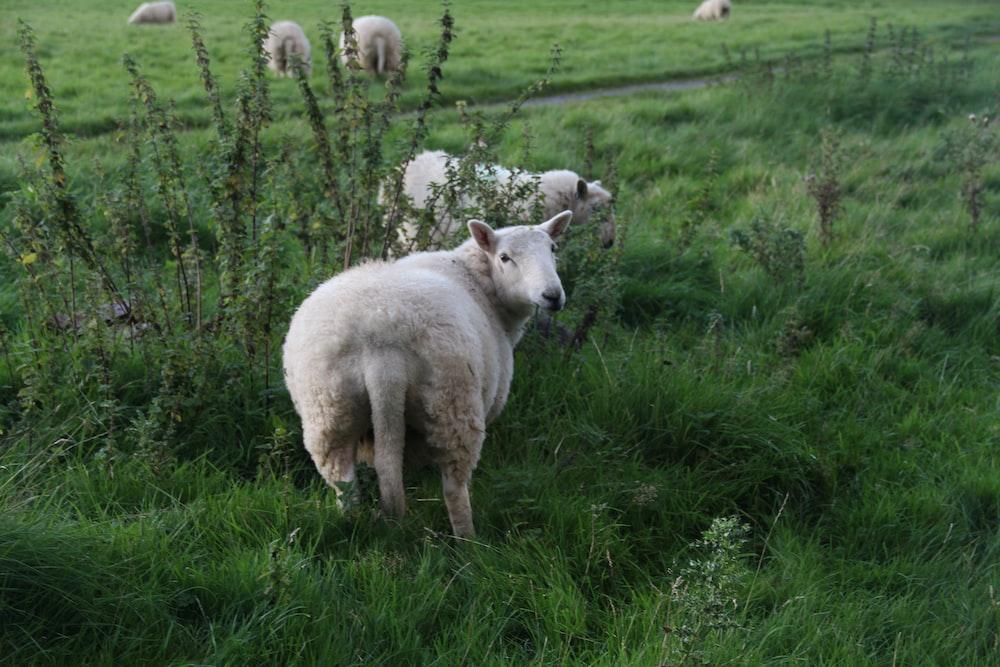 white lamb on green grass field
