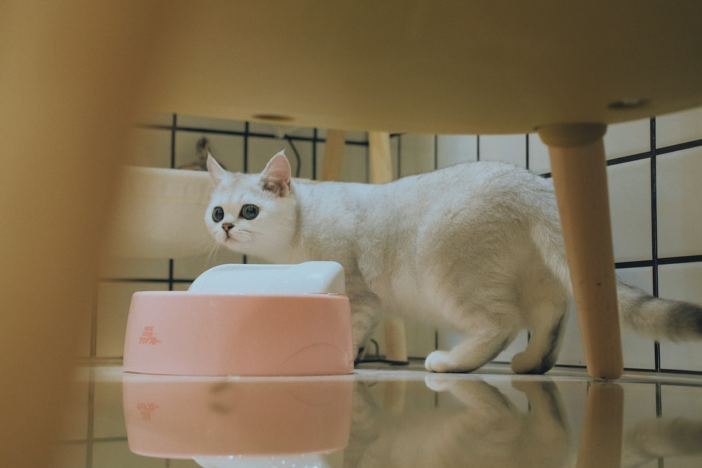 white munchkin cat beside pink bowl