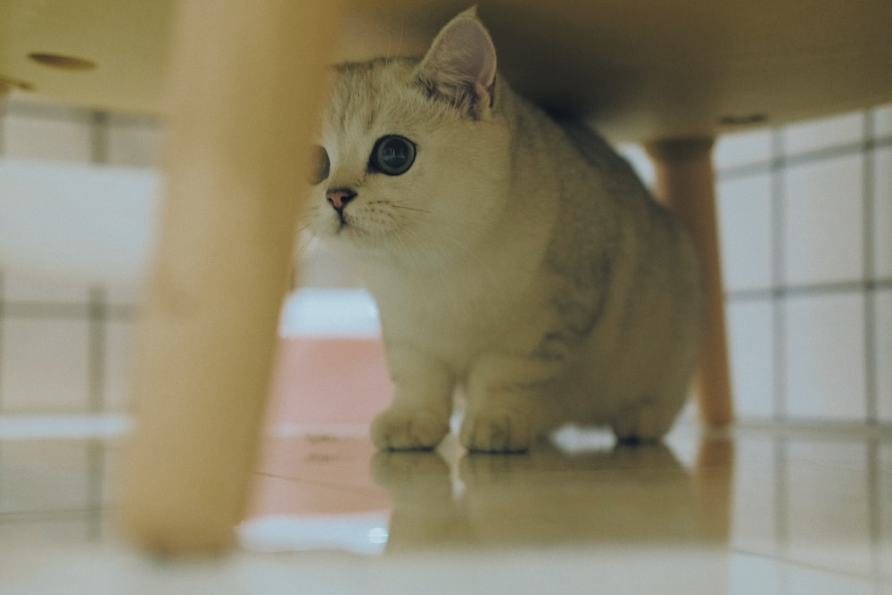 white munchkin cat on white surface