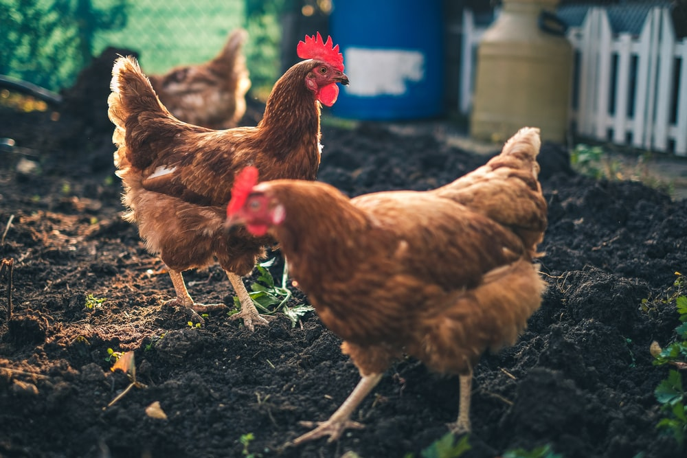 500 Poultry Pictures Hd Download Free Images On Unsplash