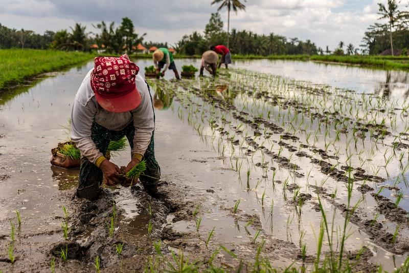 rice plantation woman