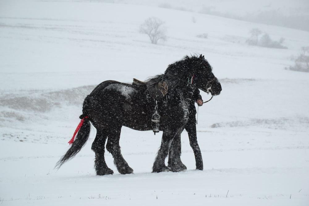 black horse standing on snow