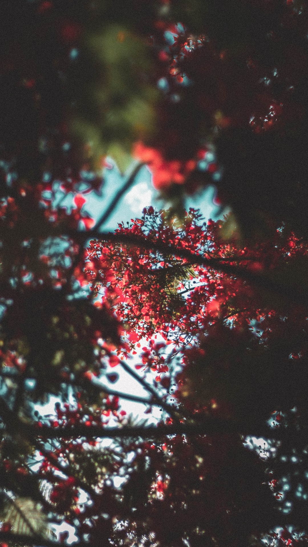 Out of focus Flamboyant branches
