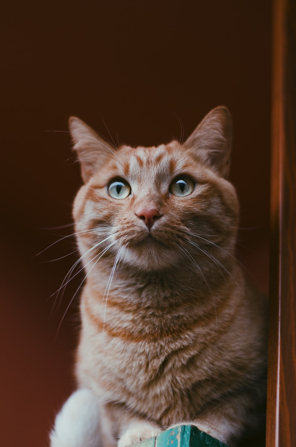 orange tabby cat in close-up photography