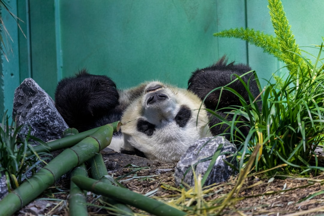 Giant Panda (Ailuropoda melanoleuca) lazing around in Calgary Zoo, Canada.