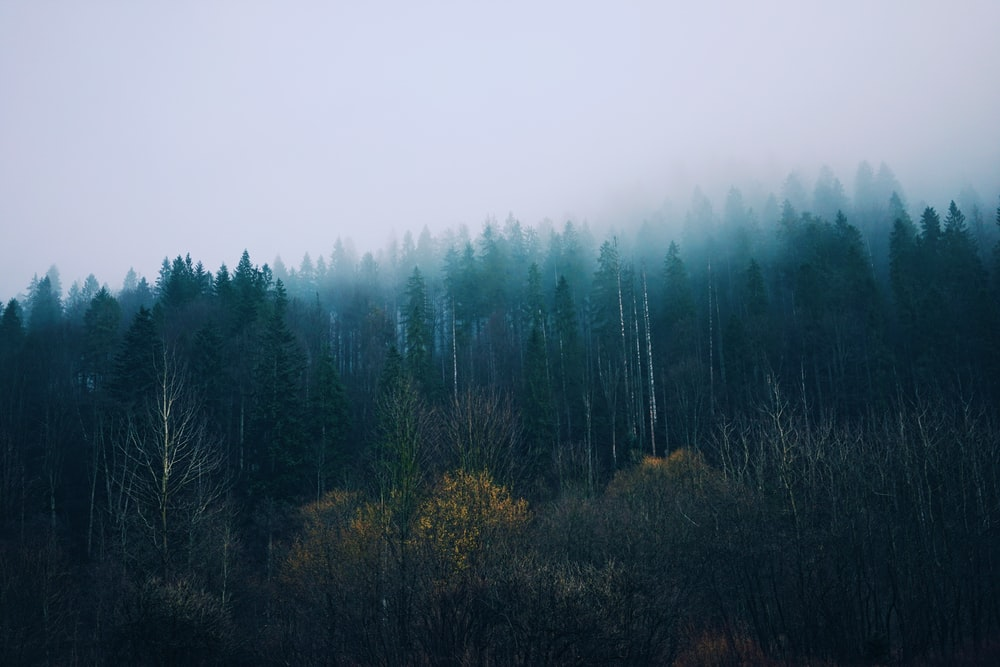 forest with fog