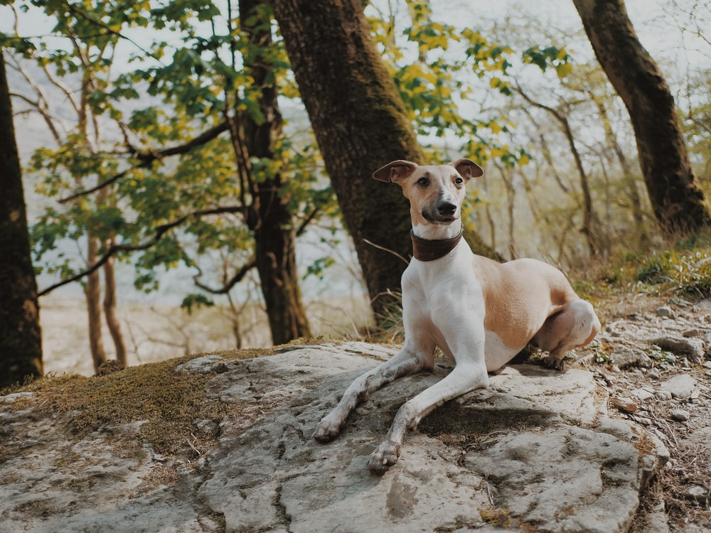 shallow focus photo of short-coated white and brown dog
