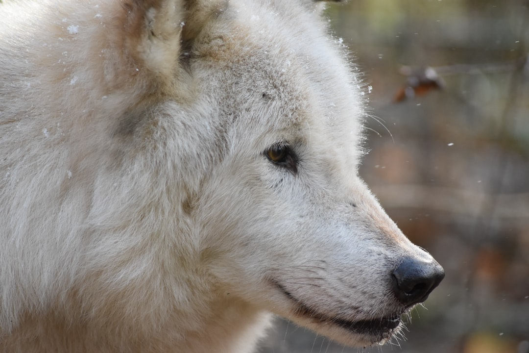 Close-up of a white wolf