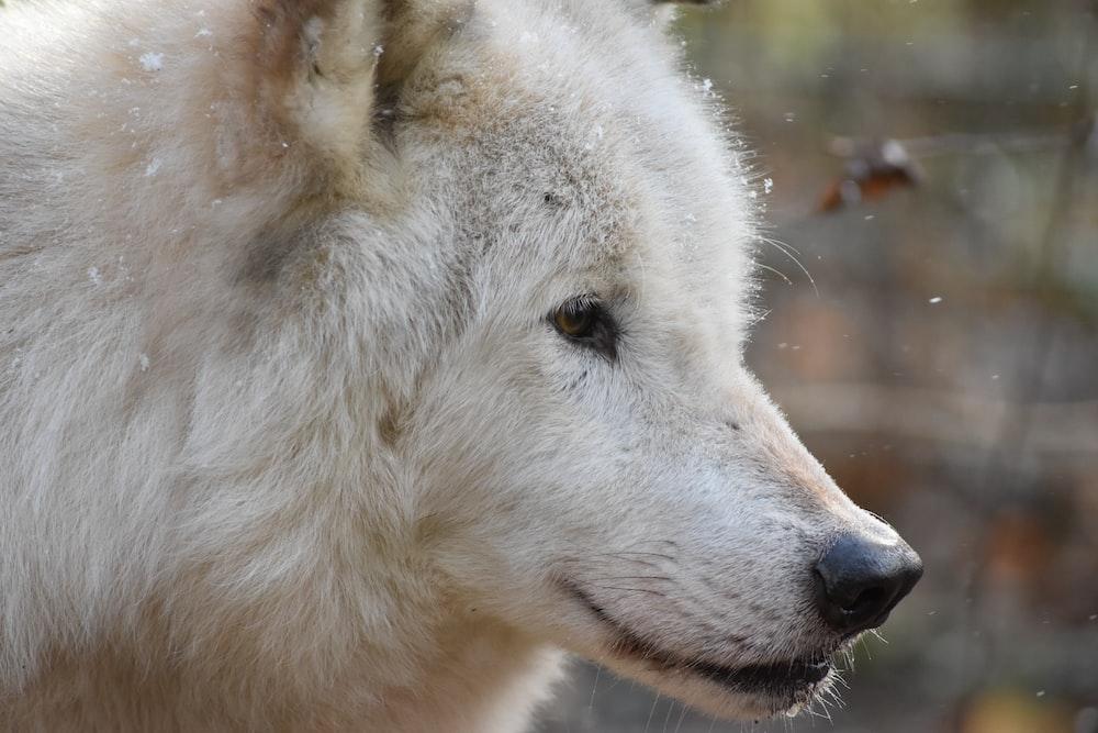 adult white dog