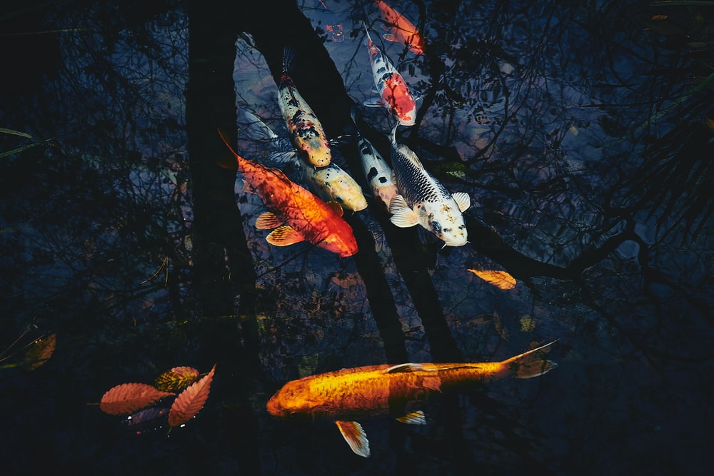 koi fishes on clam body of water
